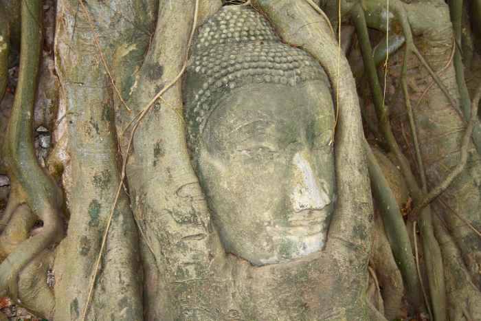 A buddha head surrounded by a tree at Wat Maha That in Ayutthaya, Thailand