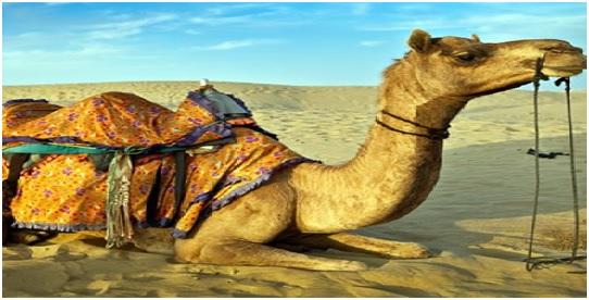 Camel, Rajastan