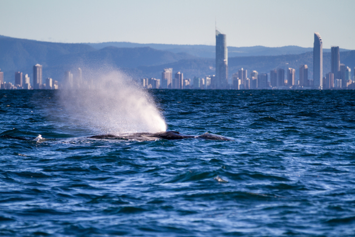 Whale watching, Gold Coast